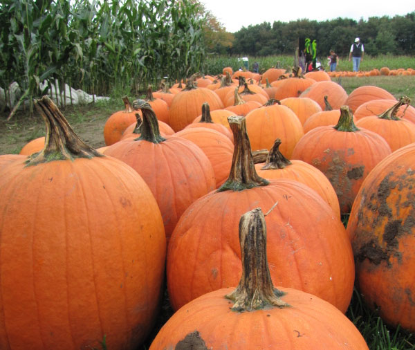 Pumpkins of all shapes and sizes.