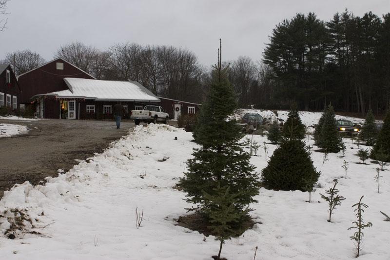 O Christmas Tree Our Rhode Island Tour Of Tree Farms The Rhode  - Christmas Trees Ri